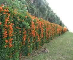 ... flowering plants for green fence design ...