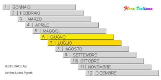 Achillea lucana [Millefoglio lucano] - Flora Italiana