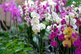 seasons through seasons your orchids will continue to bloom ask your florists for re blooming techniques