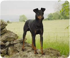 Manchester Terrier Mauspad Aus Neopren: Amazon.de: Elektronik