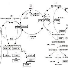 The Yasko Methylation Cycle This Figure Shows The