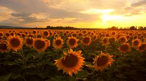 Beautiful Sun Flower Field Sunset Vibrant Beauty Nature Outdoors Summer  Agriculture Farming Landscape Aerial Fly Over Close Up Stock Video Footage   VideoBlocks