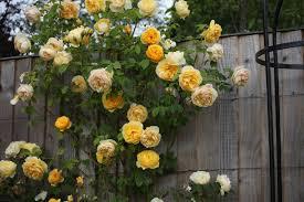 Rose U0027Sweet Julietu0027 AusleapFragrant Rose Plants