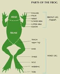 Parts Of A Frog Information And Facts On The Anatomy Of Amphibians