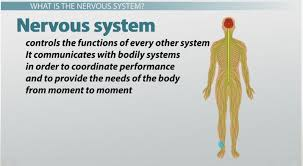 Comparative Functions Of Nervous And Endocrine Systems Chart What Are Nerve Cells Function Types Structure