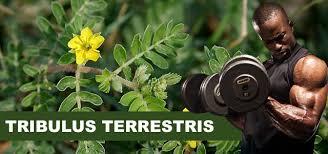 Výsledek obrázku pro Tribulus terrestris