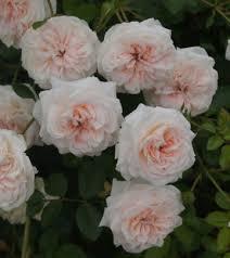 garden roses. Roses 101 Garden