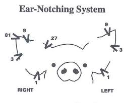 Pig Ear Notch Chart Ear Notching For Identification Pig Forum The Forum For