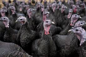 Guide To Choosing And Raising Turkeys