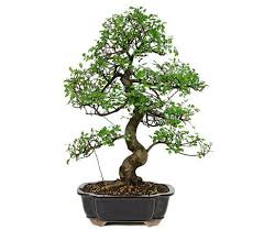 are you in need of awesome gift idea for a friend look no further than this beautiful chinese elm bonsai tree chinese elm bonsai tree