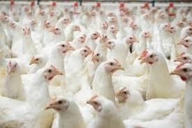 Bildergebnis für massentierhaltung hühner bodenhaltung