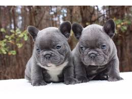blue french bulldog. Brilliant Blue Stunning Blue French Bulldog Pupppies For Sale And