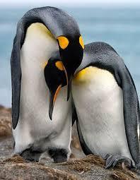 cute penguins in love. Unique Love 7539bd23569db25243974bfd92280b2epenguinlovecutepenguinsjpg In Cute Penguins Love U