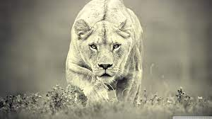 Lioness Hunting Ultra HD Desktop ...