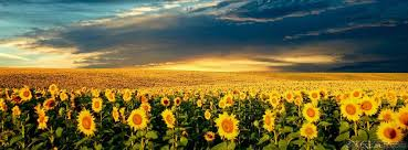 Sun Cover Photo Sun Flowers Facebook Cover Coversden