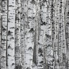 winter birch tree forest background vinyl wall mural styles