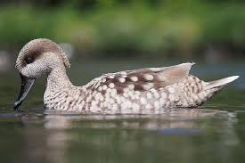 Complete A Z Duck Species List