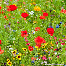 all annual big color wildflower seed mix variety