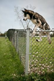 are chain link fences safe for dogs