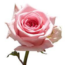 globalrose 50 pink roses fresh flower delivery