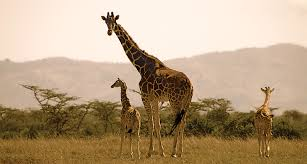 Image of: Cute Giraffe Science News Giraffes Inherit Their Spots From Their Mothers Science News