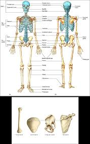 skeletal system jason l s accomplishments the types of bones above are the humerus patella pelvis and scapula respectively below is a diagram of a long bone in this case it s the femur