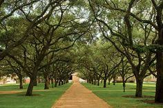 rice university campus trees. Live Oak Grove On The RIce University Campus Beautiful Trees To Rice