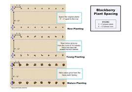 Blackberry Ripening Chart How To Grow Blackberries