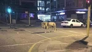 Tafsir Mimpi Melihat Singa Mengamuk Tafsir Mimpi Melihat Singa Mengamuk