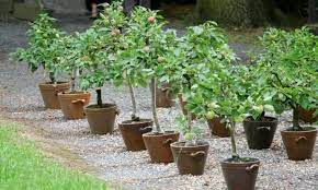 dwarf fruit trees grow patio trees in