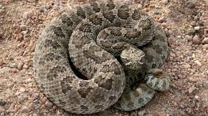 rattlesnake. Fine Rattlesnake A Prairie Rattlesnake As Seen In Morgan County For Rattlesnake G