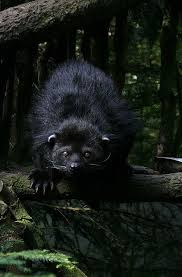 Small Picture 23 best Binturong bearcat images on Pinterest Wild animals