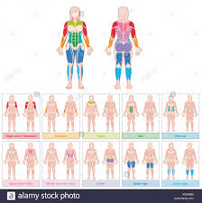 Muscle Groups Of A Female Body Chart With Largest Muscles