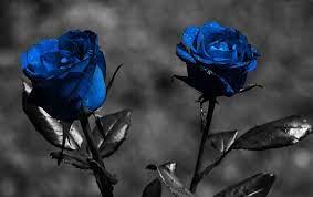 Blue Roses | Blue roses wallpaper, Rose ...