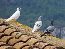 how to get rid of pigeons on your roof attic balcony