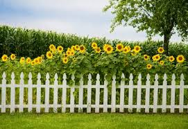 garden fences images. Beautiful Garden Classic White Picket Fence With Sunflowers Inside Garden Fences Images O