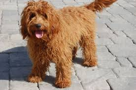 labradoodle a poodle and a crossbreed
