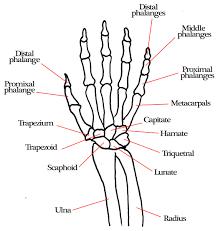 Diagram of hand and wrist hand and wrist diagram diagram of wrist wrist bones diagram of hand and wrist