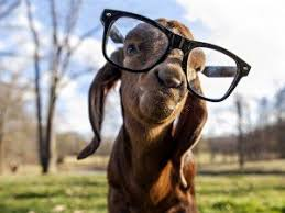 Image result for kambing lucu