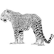 cheetah coloring pictures. Modren Coloring For Cheetah Coloring Pictures F