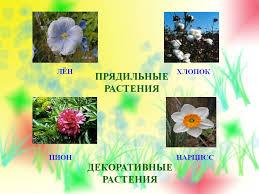 неразумное терпение найти названия прядельных растений Дикорастущие и культурные растения ppt Дикорастущее растение Найди