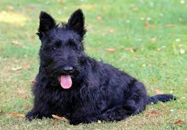 scottish terrier puppies. Plain Terrier And Scottish Terrier Puppies O