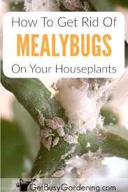 mealybugs are tiny white bugs on houseplantost commonly look like white fuzzy stuff