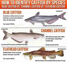 Catfish Chart Types Of Catfish Learn More