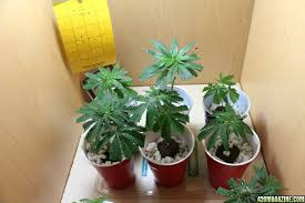 Cannabis Plant Growth Chart The 7 Key Stages Of The Marijuana Plant Life Cycle