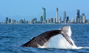 whalewatching in brisbane
