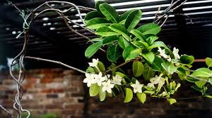 Plant Morning Glory Seeds In A Hanging Basket And They Will Grow Wall Climbing Plants In Pots