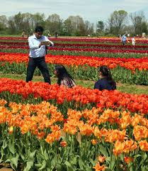visitors get their photos taken at the tulip festival at holland ridge farms cream ridge