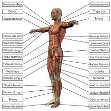 What Organs Make Up The Muscular System | Yoga Anatomy | Pinterest ...
