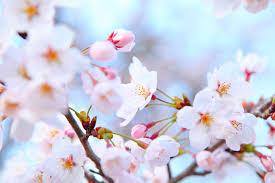 <b>Plum Blossom</b>: China's National <b>Flower</b> - Russian Flora Blog ...